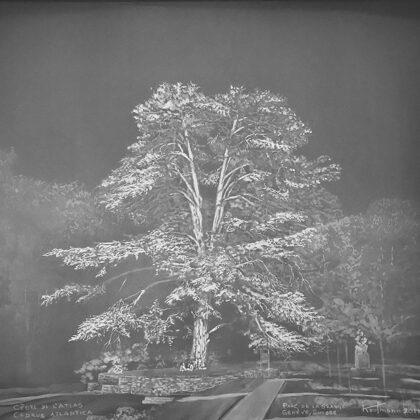 Cèdre de l'atlas, Parc de la Grange, 50 x 60 cm, Blanc sur blanc 2019